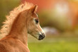 Welsh Pony Fohlen - 213260118