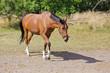cheval femelle bai marchant dans pré