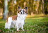 A brown and white Long Haired Chihuahua mixed breed dog outdoors