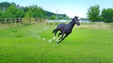 Black beautiful horse galloping on the green grass in the paddock - 213282778