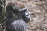 Gorilla Headshot [DSC3403] - 213283722