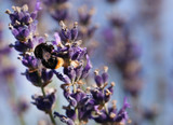Bumble bee in lavender flower - 213284304