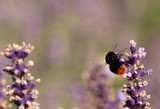 Bumble bee in lavender flower - 213284346