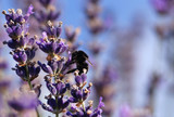 Bumble bee in lavender flower - 213284367