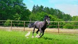 Black beautiful horse galloping on the green grass along the iron fence in the paddock, stops abruptly and changes direction - 213286332
