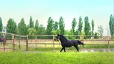 Black beautiful horse galloping on the green grass in the paddock - 213287918