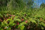 Wild strawberries in a field - 213290944