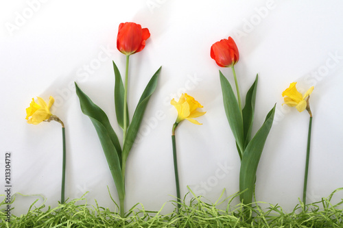 Fototapeta Daffodils and Tulips in a row
