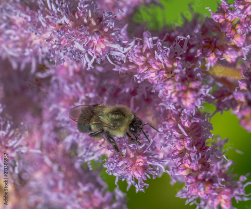 Yellow and Brown Hues on a Close Up of a Bumble Bee on Brilliant Pink and Purple Flowers