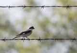 Lesser Gray Shrike - 213312393
