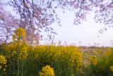 very beautiful yellow flower with sakura in background - 213315363