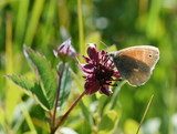 The large heath common ringlet butterfly Coenonympha tullia sitting on a marsh cinquefoil - 213315536