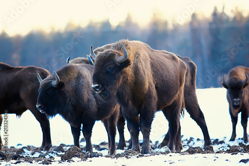 Canvas Bison Aurochs bison in nature / winter season, bison in a snowy field, a large bull bufalo