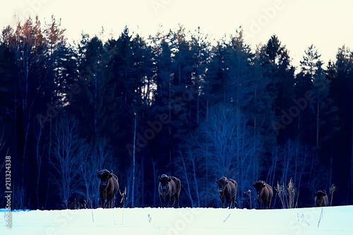 Fotobehang Bison Aurochs bison in nature / winter season, bison in a snowy field, a large bull bufalo