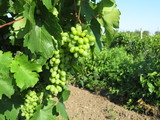 Ripening bunches of white grapes in the vineyard. Summer landscape with vinery, winemaking concept