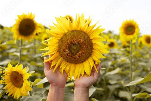 Sunflower closeup.Heart in a flower.Beautiful sunflower. Field with sunflowers.