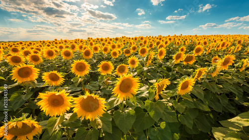 Foto Murales Blooming sunflower crop field
