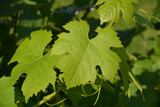 Weintrauben Blätter
