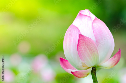 Leinwandbild Motiv Pink lotus flower. The background is the lotus leaf and white lotus flower and lotus bud in a pond. Beautiful sunlight and sunshine in the morning