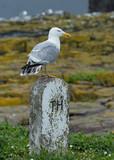 Herrington gull on stone post. Farne Islands, Northumberland, England, UK. - 213360925