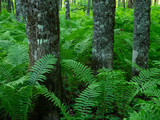 Three tree trunks in forest with green ferns - 213374537
