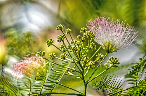 Close up of an albizia julibrissin or persian silk tree with two of close up of an albizia julibrissin or persian silk tree with two of the characteristic mightylinksfo