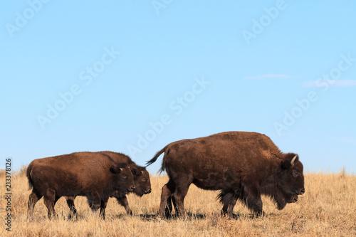 Fotobehang Bison American Bison Bull - Genetically Pure Specimen