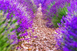 Leinwanddruck Bild - Provence, France. Close-up blooming lavender in Provence in France - strict rows of planted lavender herbs. Violet color in nature.