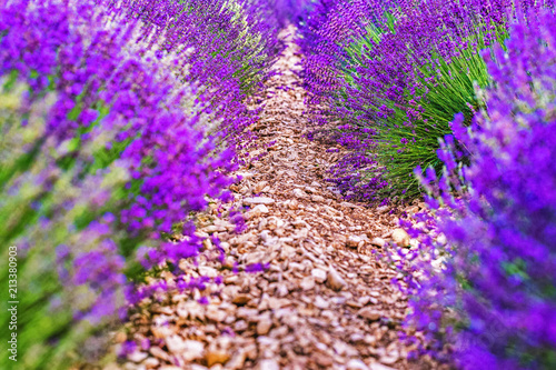 Leinwanddruck Bild Provence, France. Close-up blooming lavender in Provence in France - strict rows of planted lavender herbs. Violet color in nature.