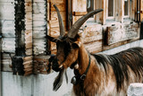 Swiss goat at Grindelwald - 213393786