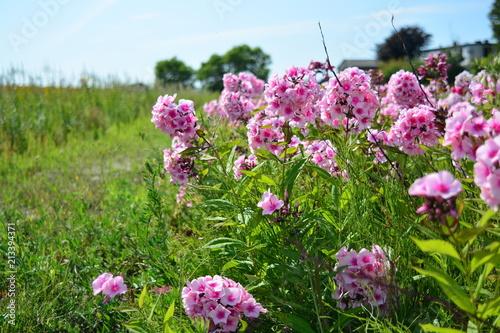 Foto Murales Pink flowers in the garden