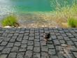 Duck at Plitvice Lakes, Croatia