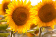 Sunflowers close image in sunset warm light
