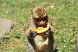 Macaque de barbarie - 213415540
