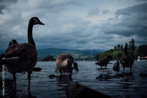 Fotobehang Zwaan Birds in the water
