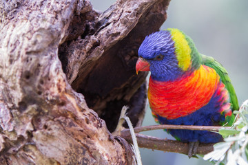 Rainbow Lorikeet Exploring a Tree