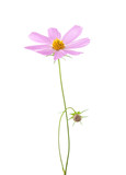 Light pink Cosmos flower  isolated on white background. Garden Cosmos - 213446789