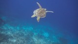 Chasing a green sea turtle in a shallow reef - 213447338