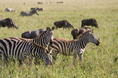 Fototapeta Zebras in Tanzania