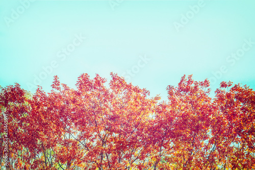 Autumn trees with red foliage at sky background, border
