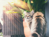 Young fluffy cat on balcony , looks at camera. Siberian cat lifestyle - 213467749