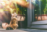 Young fluffy cat on balcony at window and plants . Siberian cat lifestyle - 213467764