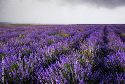 Canvas Snoeien Lavender field in Crimea during a stormy day
