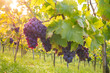 Leinwandbild Motiv Weintrauben am Rebstock im Herbst