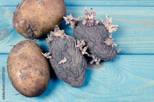 Foto Murales Rotten old sprouting potatoes on a blue background.