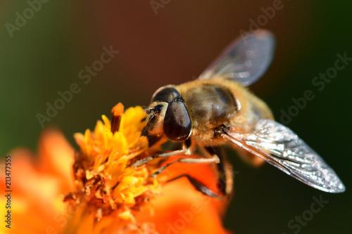 Macro shot of a bee on an orange coreopsis - 213477555