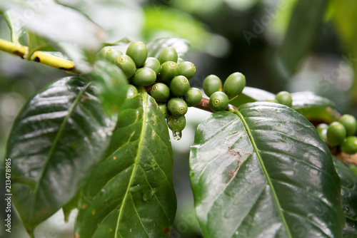 The green coffee tree with water drop after rain.