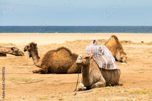 Fotobehang Kameel Marokko