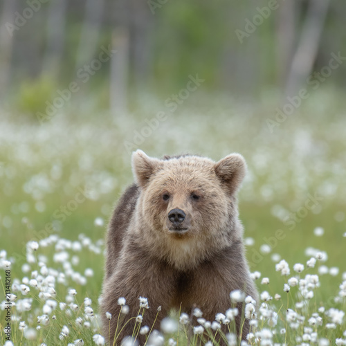 Młody brown niedźwiedź chodzi na Fińskim bagnie po środku bawełnianej trawy (Ursus arctos)