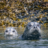 Harbor Seals Watching for Trouble - 213482702